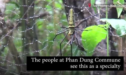 Giant wood spider, a specialty food in forests of south central Vietnam (chờ video)