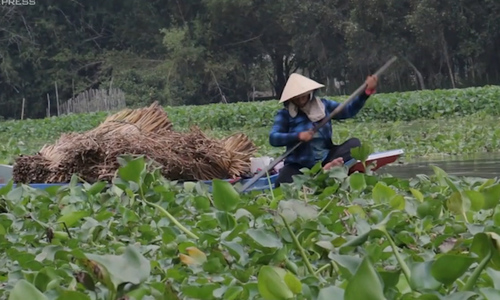 Mekong Delta residents earn a living off noxious water weed