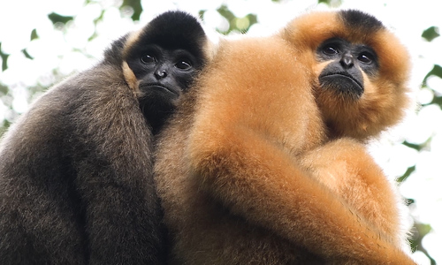 The yellow-cheeked gibbons of Cat Tien