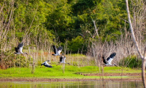 Low Mekong Delta water levels shrink habitat of rare stork