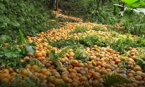 Orange alert: farmers crushed as hailstorm destroys citrus crop
