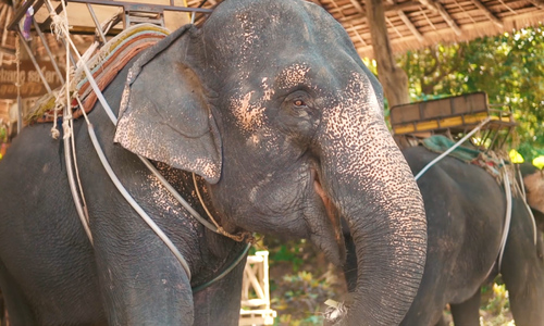 Elephants on the brink in Vietnam's Central Highlands