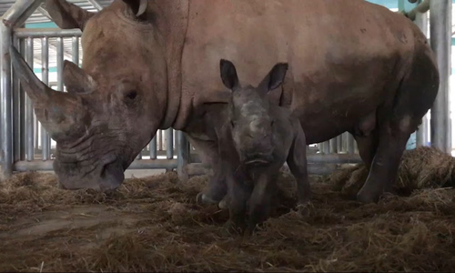 It's a girl: white rhino delivered in southern Vietnam