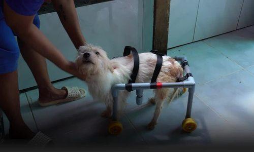 Saigon woman, samaritan helps lame dogs, cats walk again