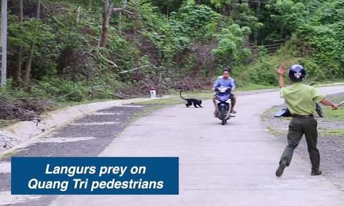 Langurs prey on Quang Tri pedestrians