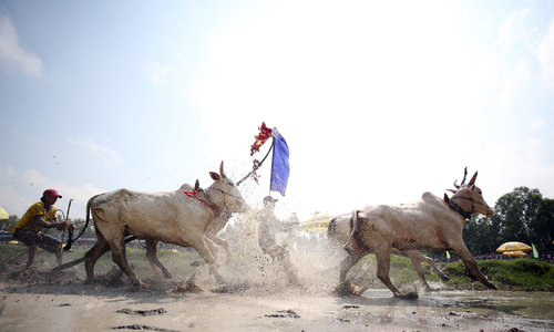 Taking the bull by the horns in an oxen race