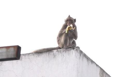 Troublesome monkeys caught robbing Saigon homes