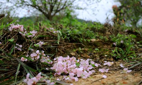 Early bloom, sales drop see farmer spirits flail ahead of Tet