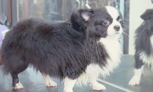Cô gái Hà Nội từ bỏ việc nghìn đô làm nghề tỉa lông, làm đẹp cho chó