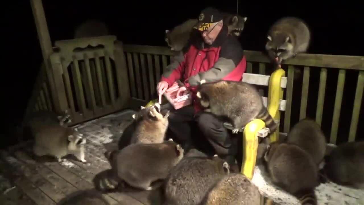 Cho gấu hoang ăn mỗi tối