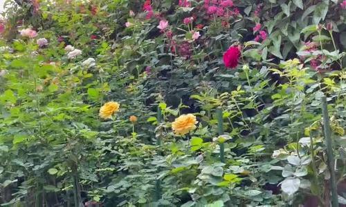 Vườn hồng gần 500 loài của nữ giám đốc Lâm Đồng