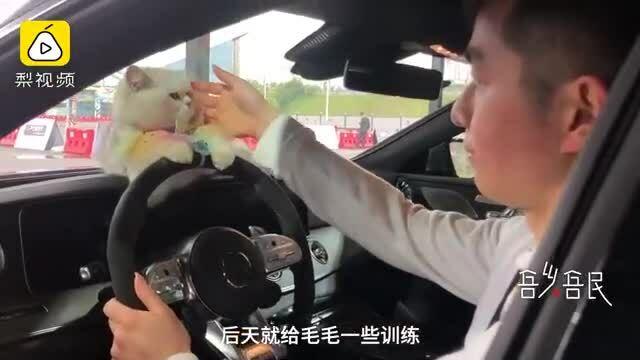Con mèo làm người mẫu xe hơi