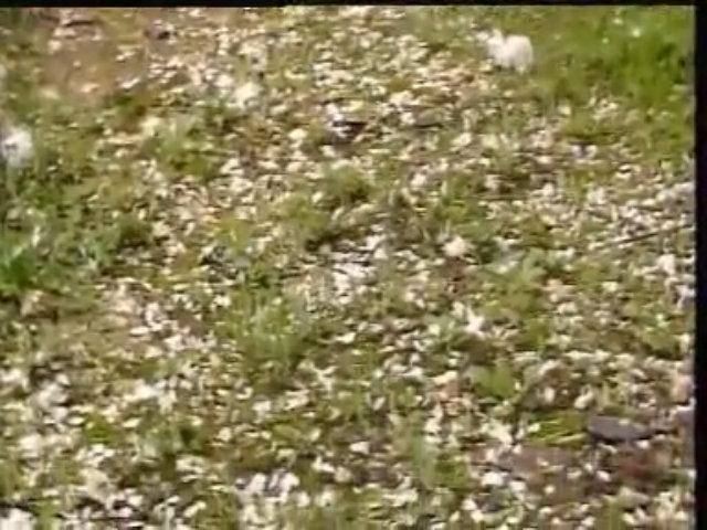 Cảnh Lâm Đại Ngọc khóc chôn hoa