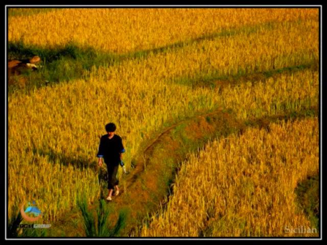 Em đi giữa biển vàng - Hồng Nhung