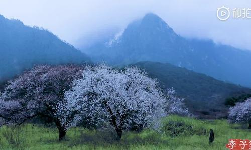 'Tiên nữ' Tứ Xuyên trèo cây đào bẻ hoa, lấy nhựa nấu chè
