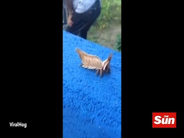 Sinh vật kỳ dị bò như giun, vẫy đuôi như chó ở Brazil