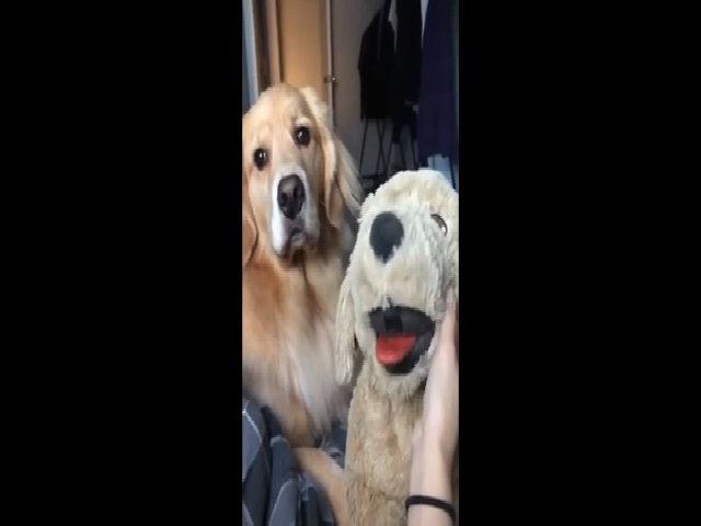 Chú cún ghen tị khi cô chủ nựng chó bông