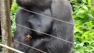 Cute hết sức: Khỉ đột khổng lồ cưng nựng vượn tí hon