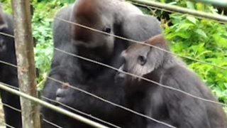 Khỉ đột Bobo