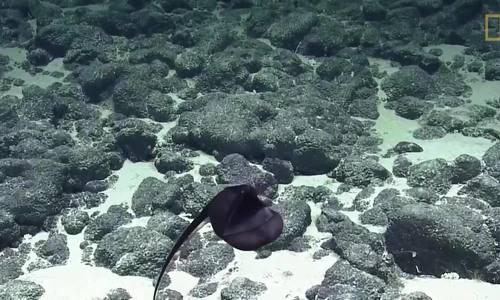 Loài cá 'thay hình đổi dạng', lúc tròn lúc dài tùy thích