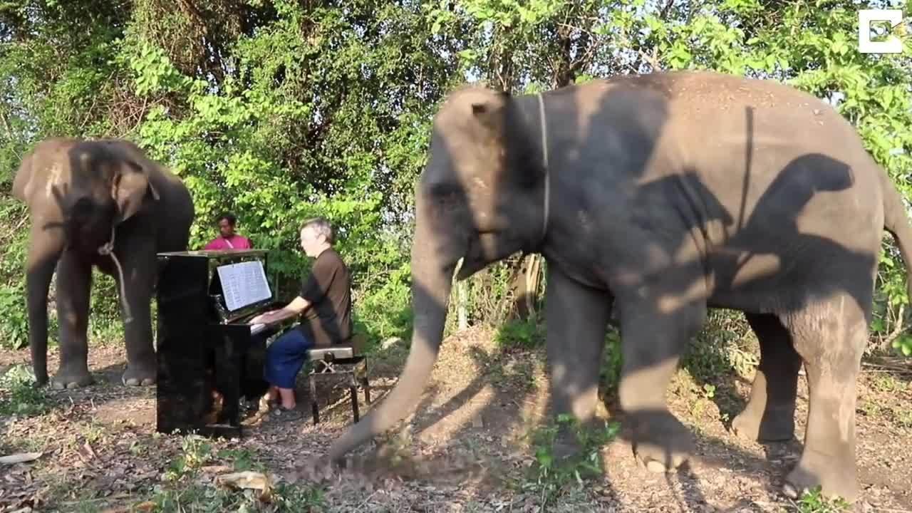 Nghệ sĩ dương cầm chơi đàn cho những chú voi ở khu bảo tồn