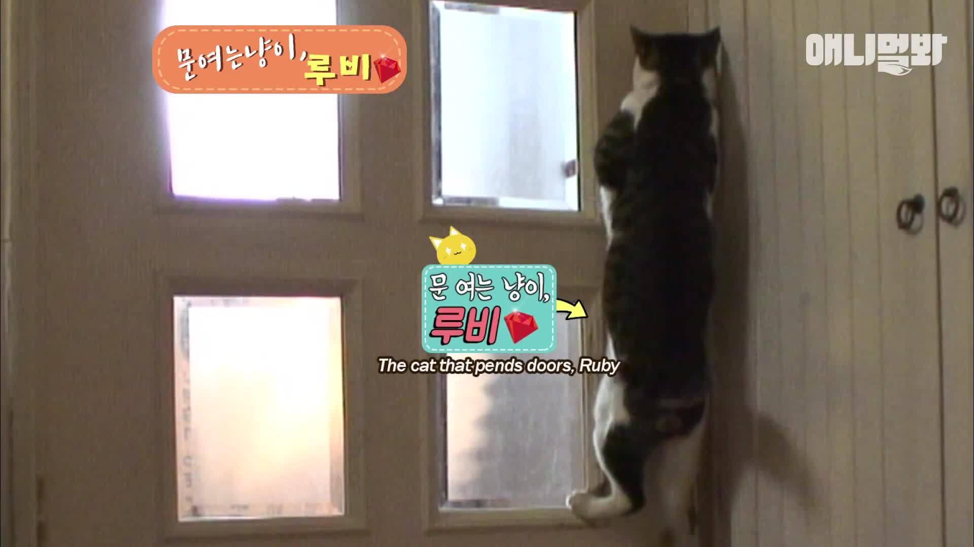 Người xem trố mắt kinh ngạc với con mèo biết mở cửa như người