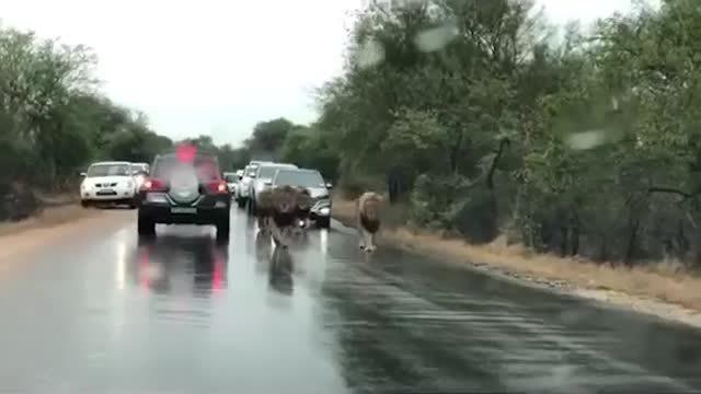 Ô tô tắc nghẽn hàng dài để nhường đường cho sư tử..đi dạo