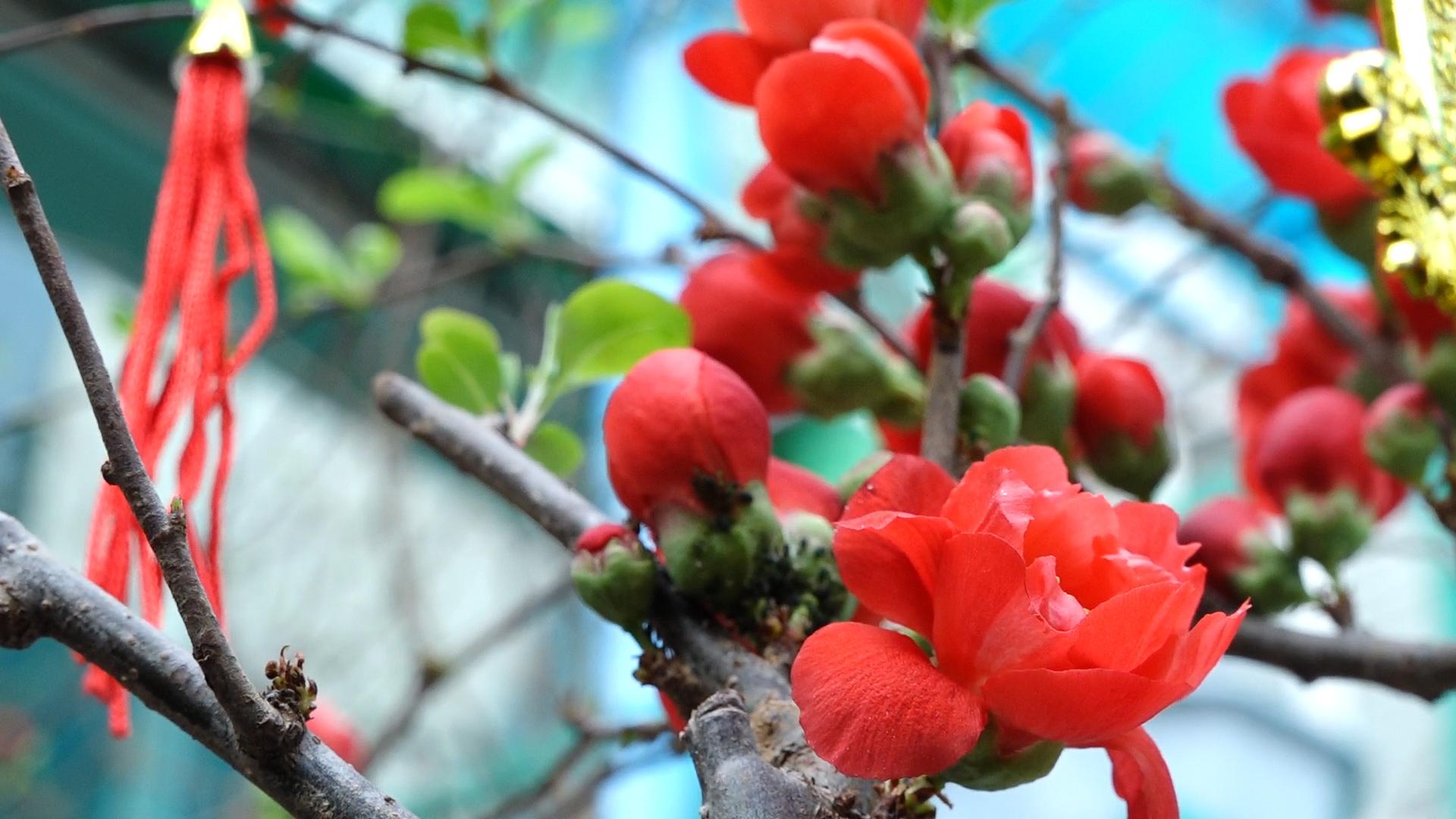 Mai đỏ ngoại nhập hút khách dịp Tết