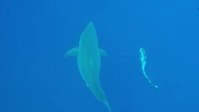 Thợ lặn tại Hawaii có thể 'vui đùa' cá mập trắng
