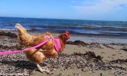 Cô nàng xinh đẹp coi gà mái là bạn thân, cho đi du lịch và xăm hình 'bạn' lên trên người