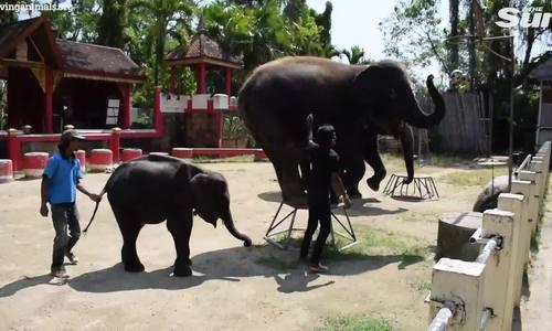 Chú 'voi dumbo đời thực' bị ngược đãi đến gãy chân và qua đời