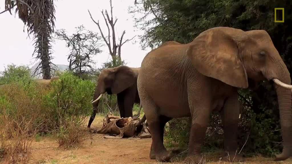 Đàn voi đưa tang như người