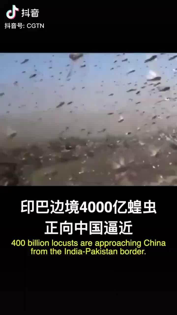 Trung Quốc cử 100.000 con vịt đến biên giới dập dịch châu chấu