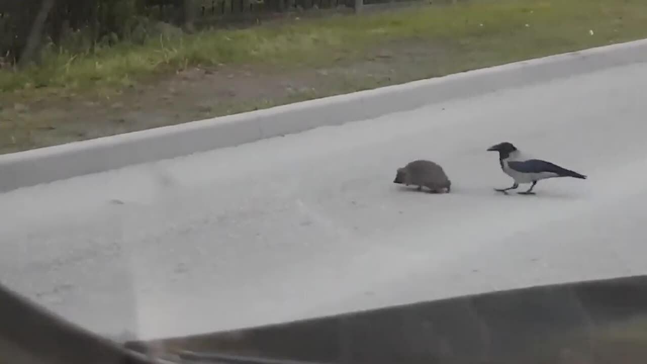 Chú quạ giúp nhím băng qua đường tránh nguy hiểm.