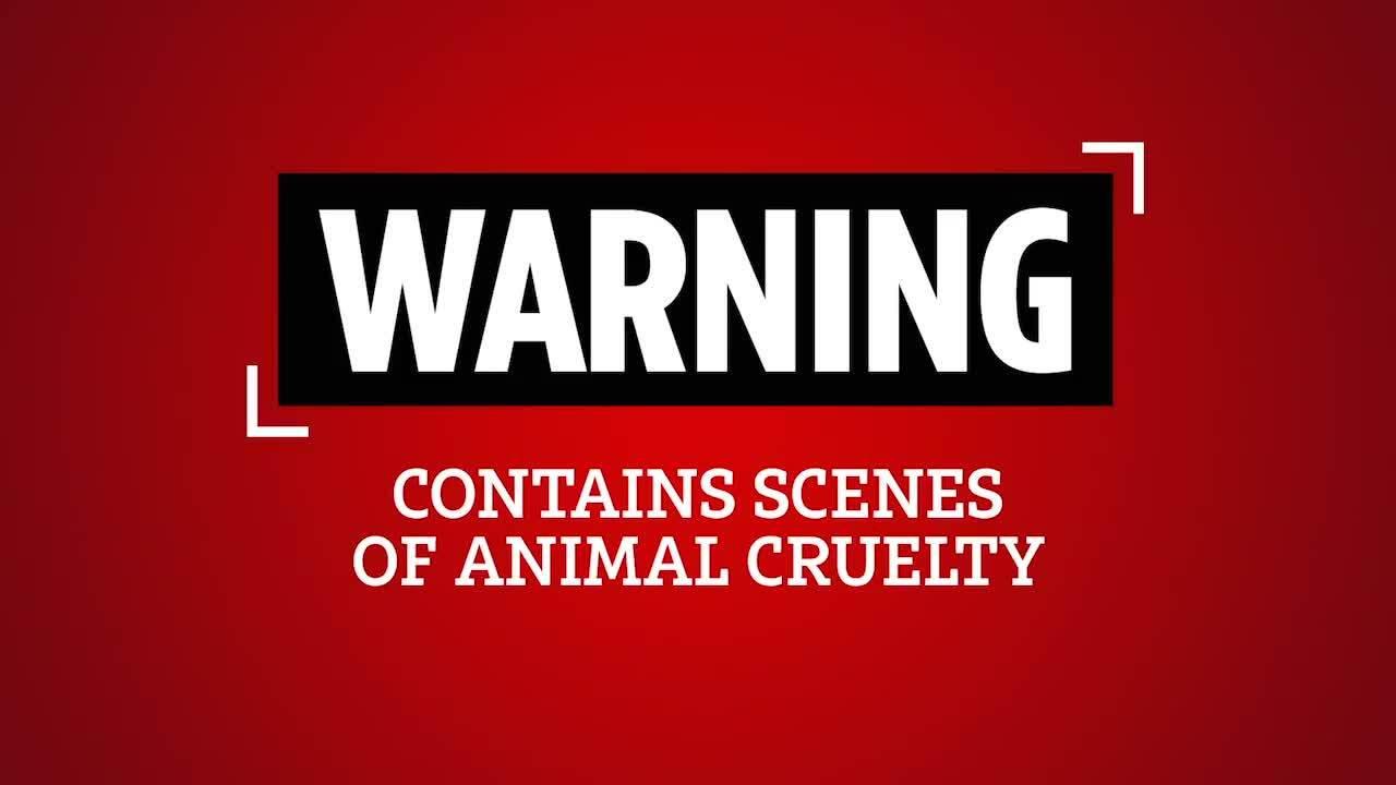 Hàng nghìn con cáo bị lột sống để làm áo khoác lông