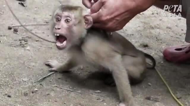 Cuộc đời 'khỉ nô lệ' bị bắt để huấn luyện hái dừa