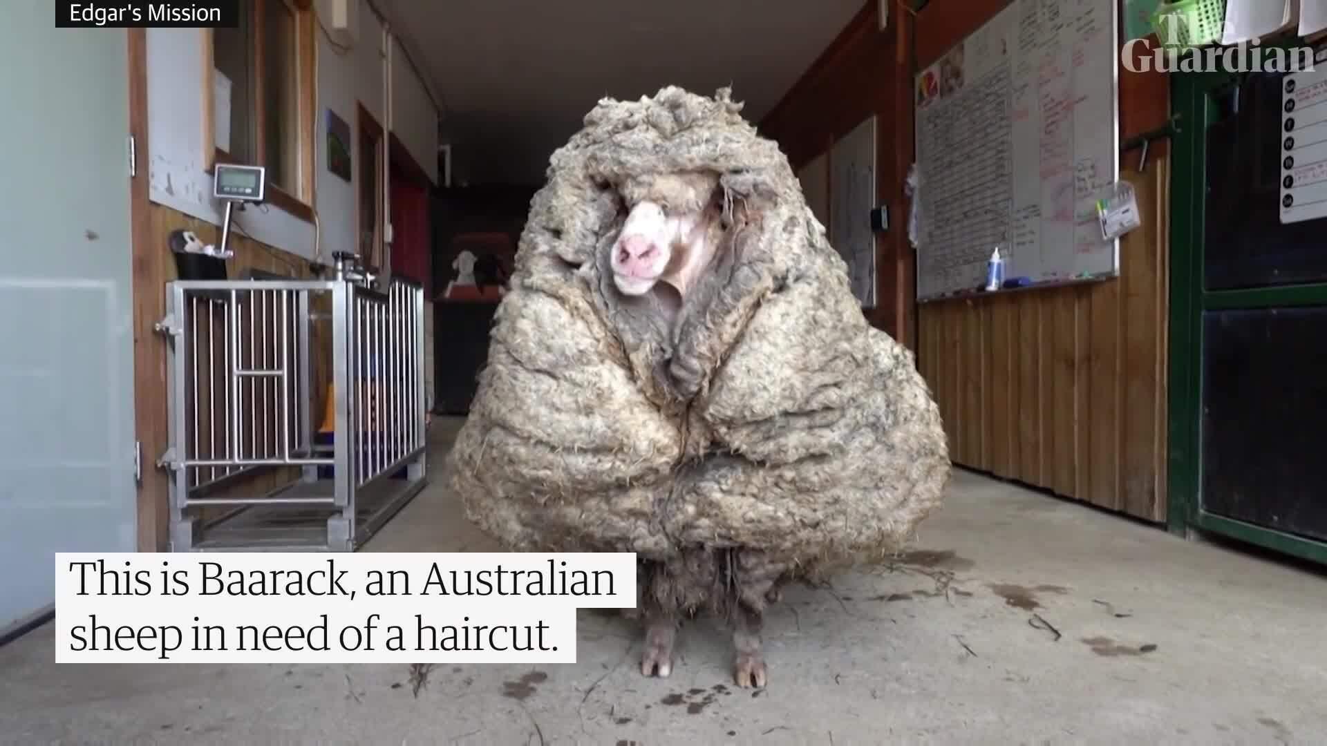 Diện mạo 'ma chê quỷ hờn' của con cừu 5 năm không được xén lông