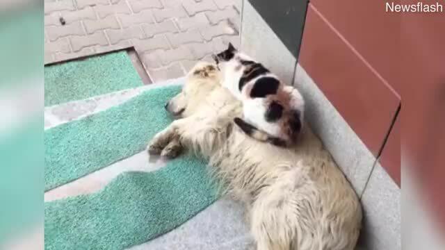 Mèo massage cho chó cực đáng yêu