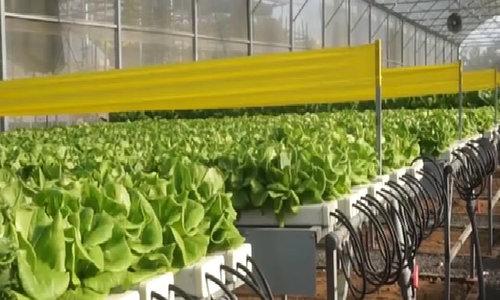 Đạo diễn truyền hình đi trồng rau kiếm hơn 200 triệu đồng mỗi tháng