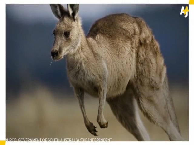 Australia cho bắt bớt kangaroo để bảo vệ nông nghiệp