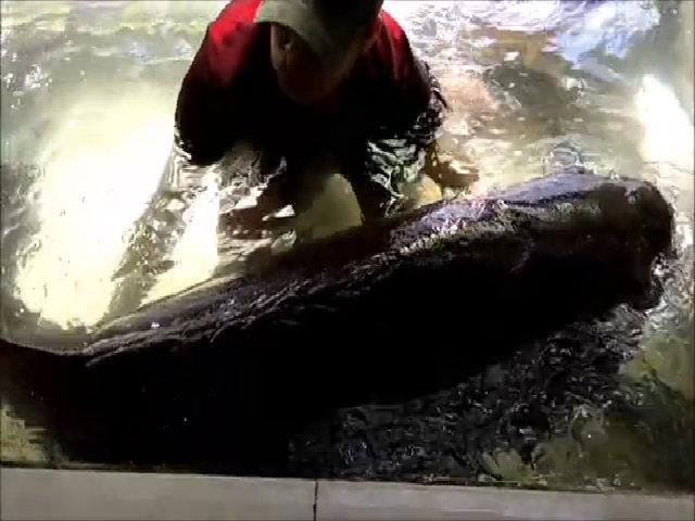 2,5 triệu đồng một kg cá mú nghệ 'khổng lồ'