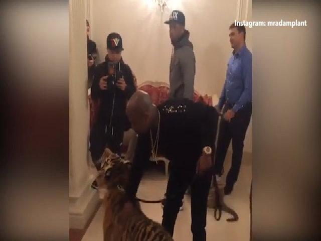Mayweather dắt hổ đi quanh phòng khách sạn