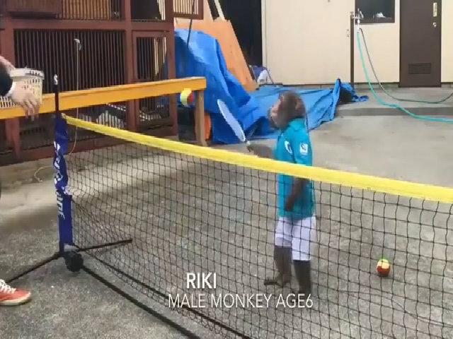 Khỉ Nhật Bản chơi tennis hút hàng chục nghìn lượt xem
