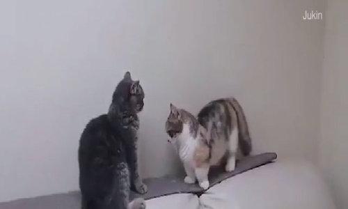 Mèo chân ngắn bị bạn bắt nạt thu hút 8 triệu lượt xem