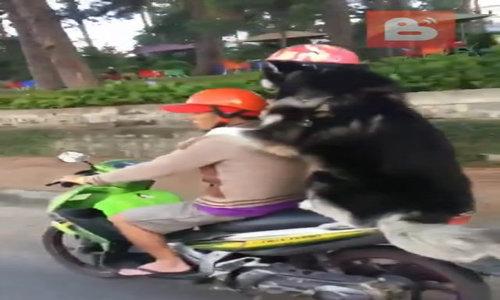 Chủ lái xe máy chở chó dạo phố