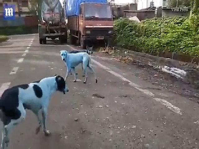 Chó chuyển da màu xanh sau khi uống và tắm nước sông nhiễm độc