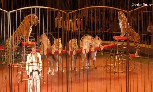 Rạp xiếc bị chỉ trích vì cho đàn sư tử quá béo lên biểu diễn