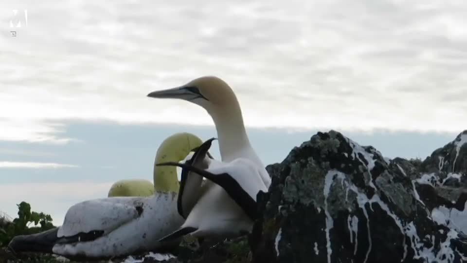 Chú chim ó cô độc nhất thế giới qua đời sau 3 năm bên tượng chim giả
