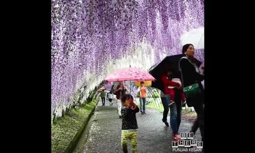 Video hoa tử đằng ở Nhật khiến du khách ngất ngây