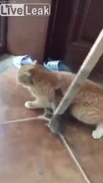 Chuột ngoạm chặt chân mèo, bị đuổi đánh cũng không buông